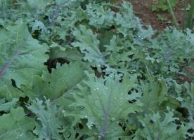 Kale eco