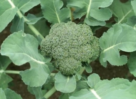 Broccoli de gradina_stoc redus