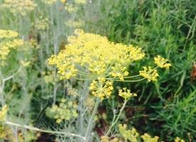 Flori de marar eco