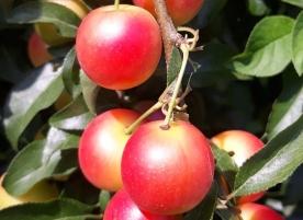 Corcoduse eco, rosii 500g