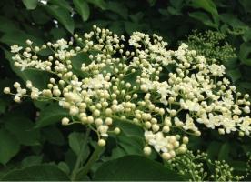 Flori de SOC bio pentru SOCATA