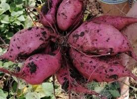 Cartofi dulci eco romanesti