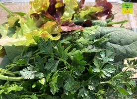 VerdeBunBio-kale,spanac,patrunjel,salata