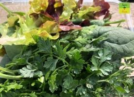 Verde bun bio - salata,  spanac, patrunjel eco