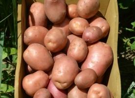 Cartofi ecologici, rosu