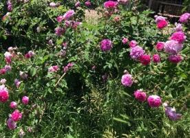 Sirop din petale de trandafiri