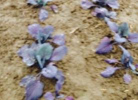 Frunze de varza rosie eco